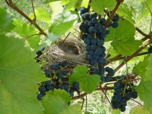 Wine Tasting, Wood-fired Pizzas, Vineyard & Winery Tours @ Branches Winery | Westby | Wisconsin | United States