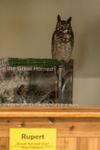 Real Life Great Horned Owl Soap Opera