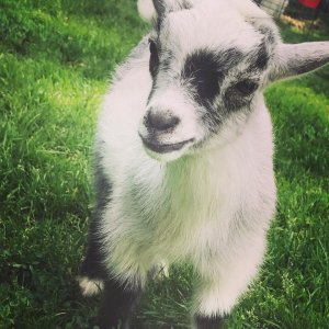 Goat Yoga at Rainbow Ridge Farms @ Rainbow Ridge Farms  | Onalaska | Wisconsin | United States